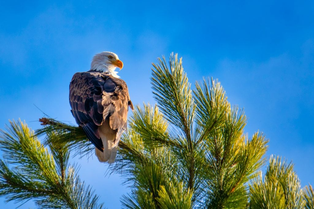eagle photographs