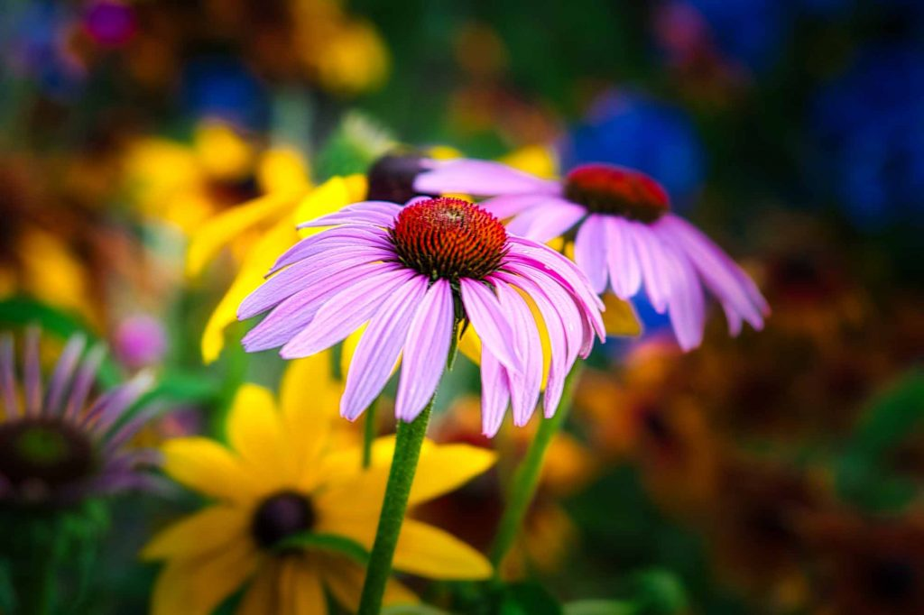 idaho photographer, purple coneflower